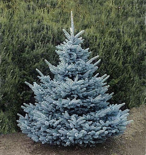 sapin bleu
