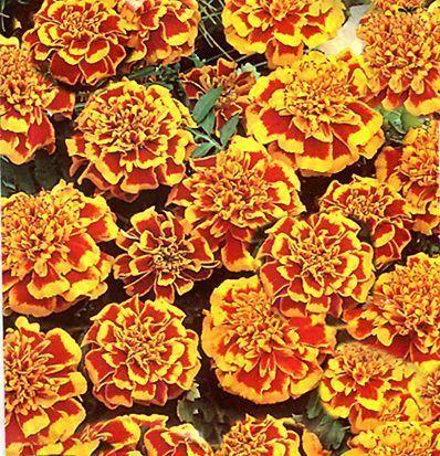 Oeillet d 39 inde orange flamme - Semer des oeillets d inde ...